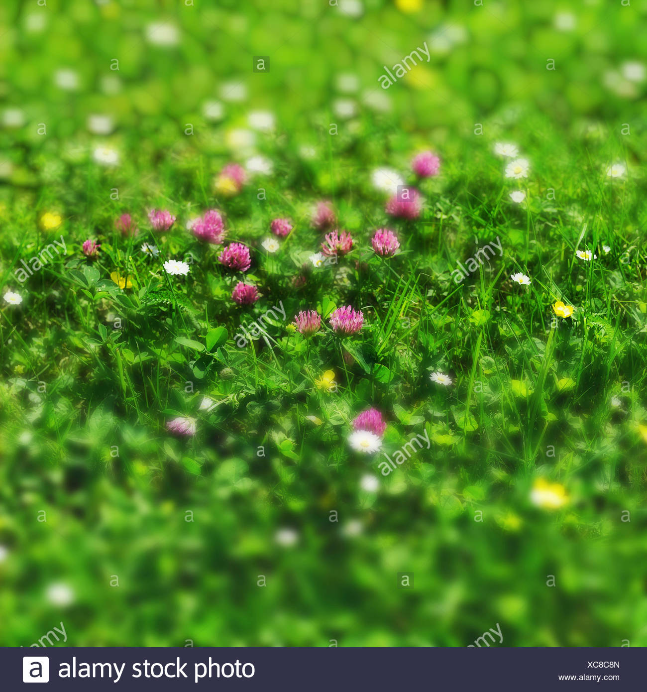 Pre Detail De Trefle Trefle Pre Plantes Herbes Fleurs Trefle
