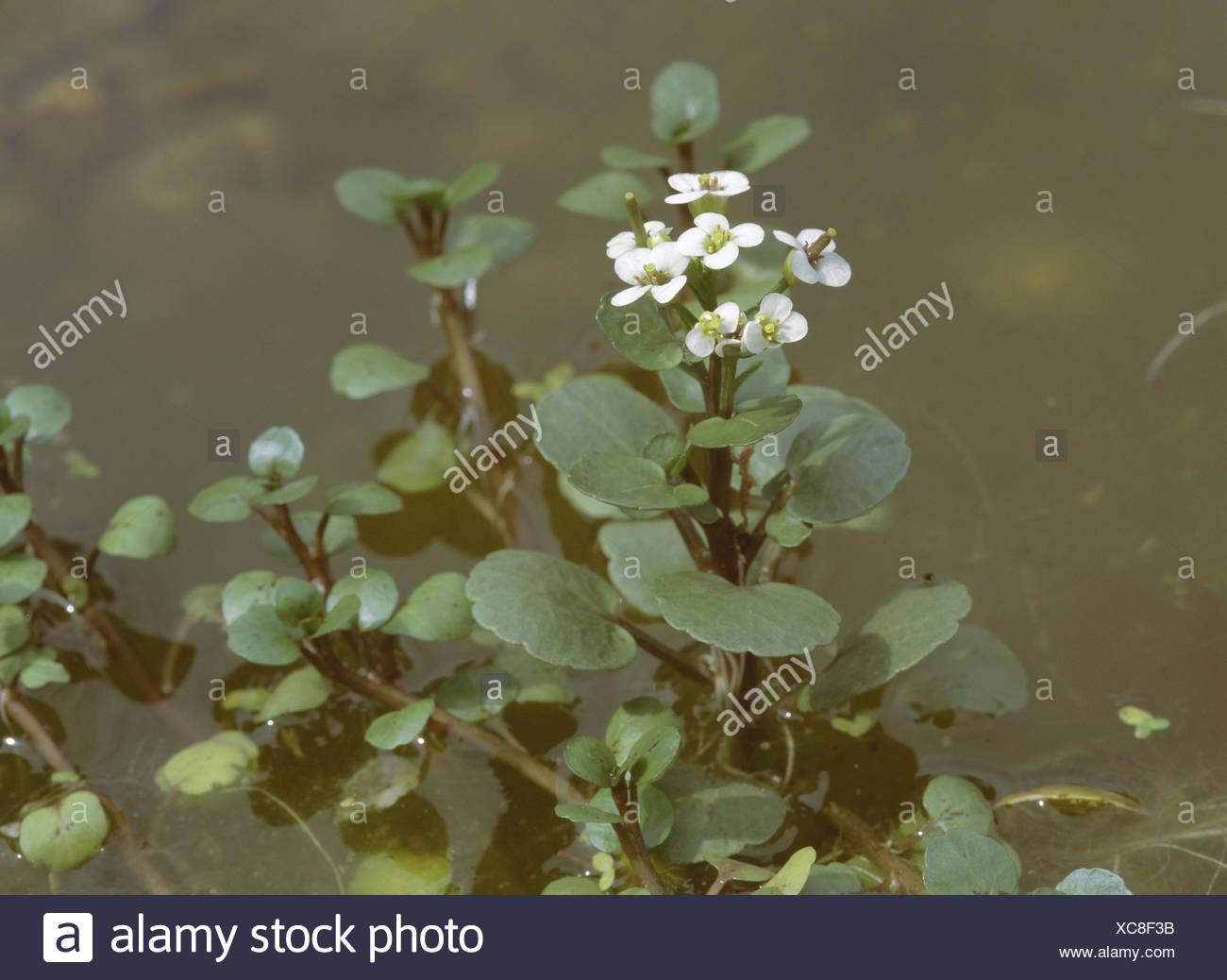De L Eau Etang Nombril Hydrocotyle Vulgaris Eaux Lac Eau