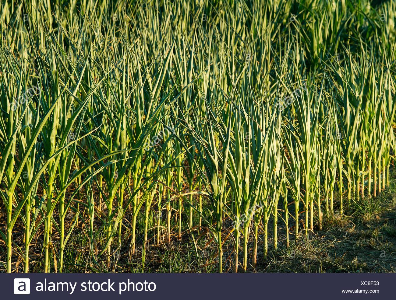 Les jeunes récolte de maïs. Photo Stock
