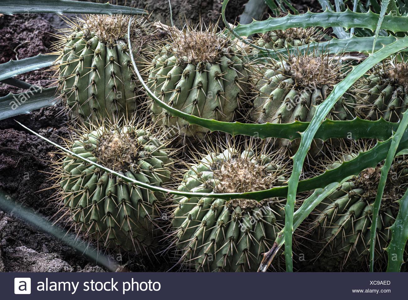 Cactus appartenant au genre Copiapoa Photo Stock