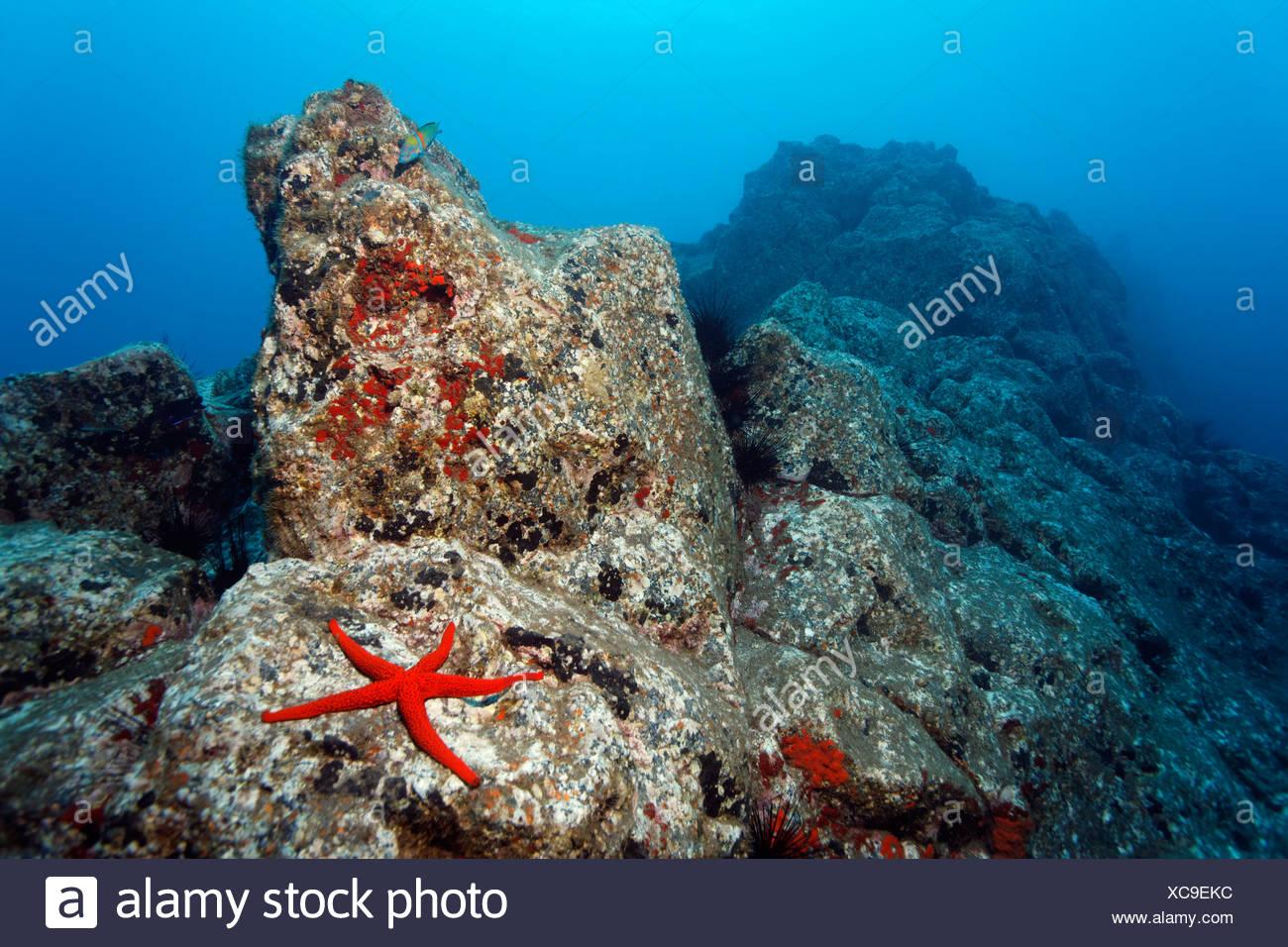 Paysages sous-marins rocheux, rouge, étoile de mer (Echinaster sepositus), Acorn balanes (Balanus trigonus), Madeira, Portugal, Europe Photo Stock