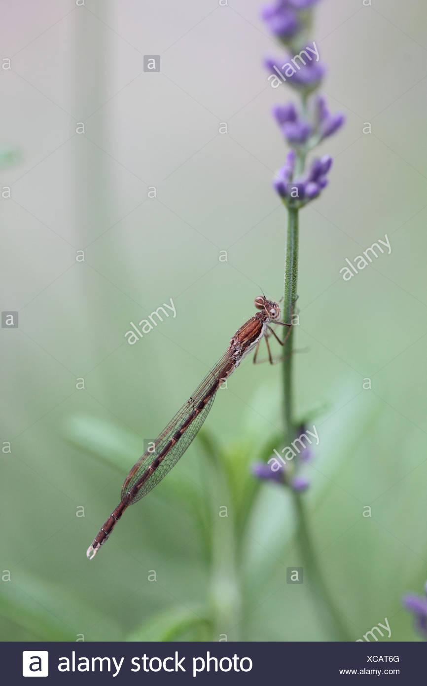 Une demoiselle d'hiver, Sympecma fusca, se retrouve dans une grande partie de l'Europe centrale et du sud, sur une tige florale de lavande. C'est l'une des deux espèces de libellules qui hivernent sous forme d'insectes adultes. Photo Stock