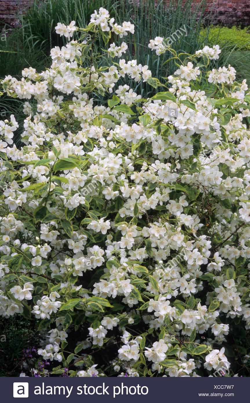 Philadelphus \'ebureaus\', ensemble de l\'arbuste, fleurs ...