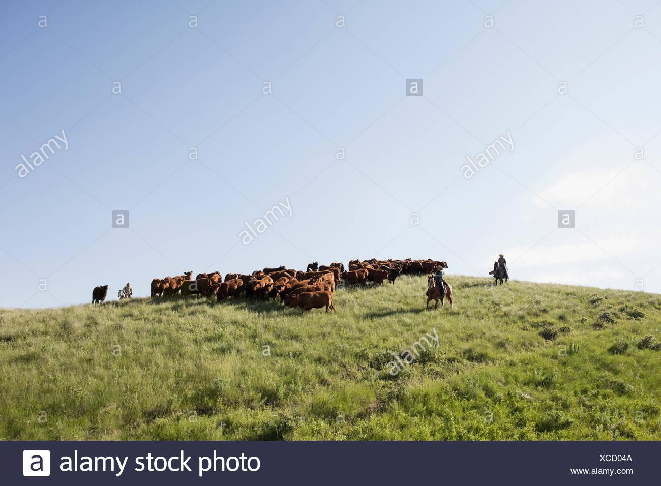 Les éleveurs de bovins femelles élevage sur colline under blue sky Photo Stock