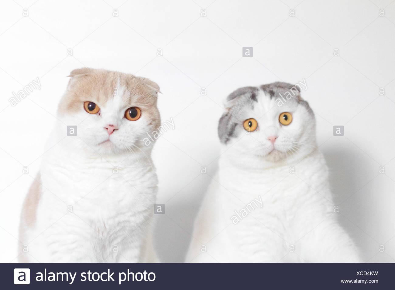 Portrait de deux plis écossais à la perplexe Photo Stock