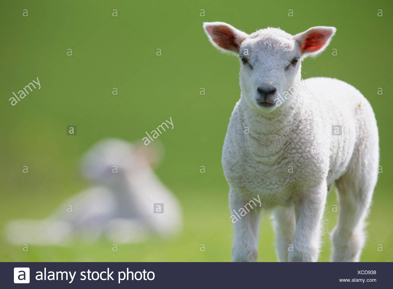 Portrait d'agneau d'herbe en vert Photo Stock