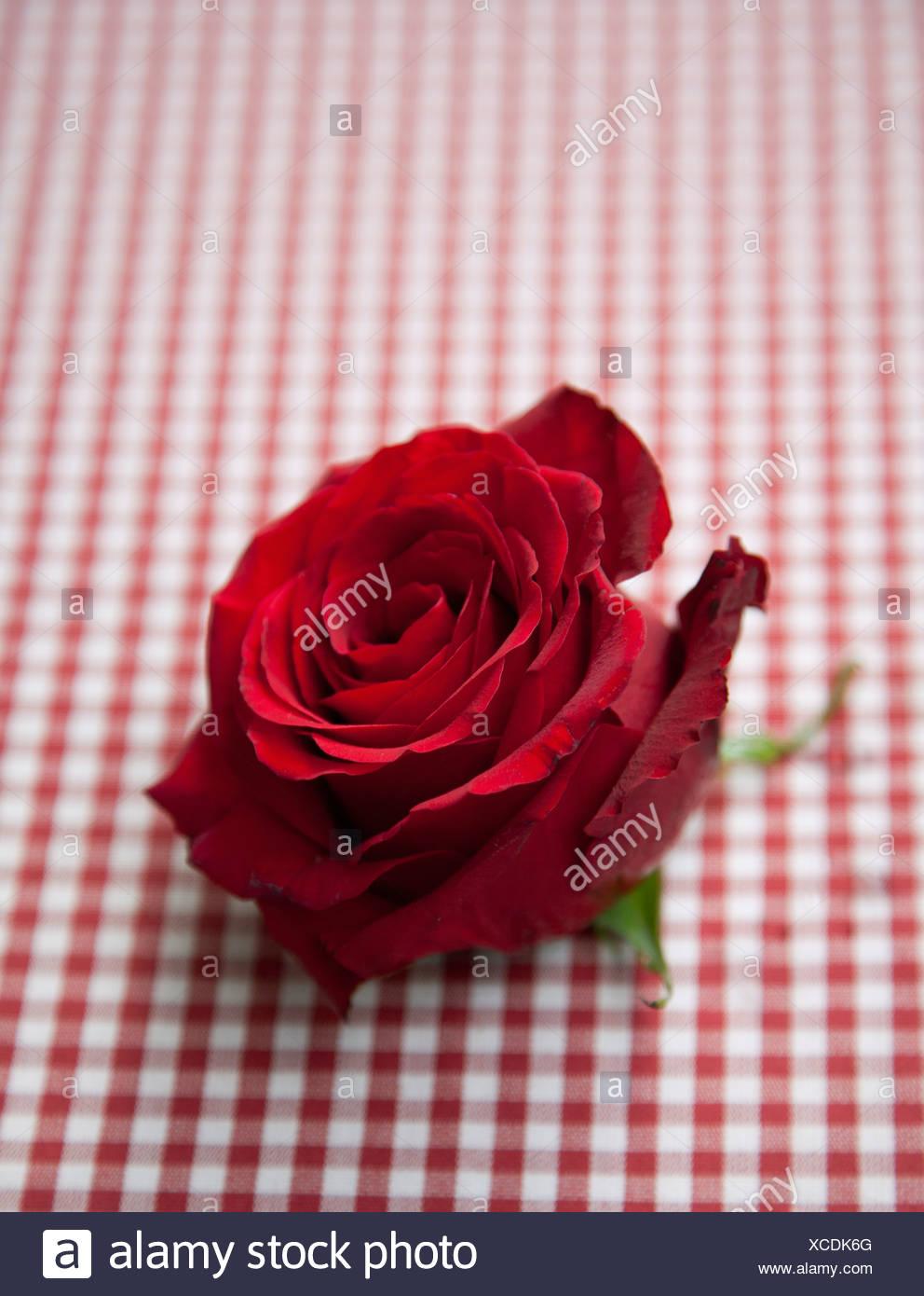 Rose rouge sur vérifier cirée Photo Stock