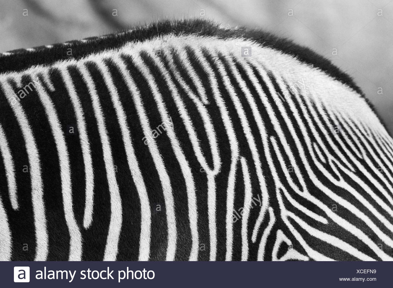 Zebra Photo Stock