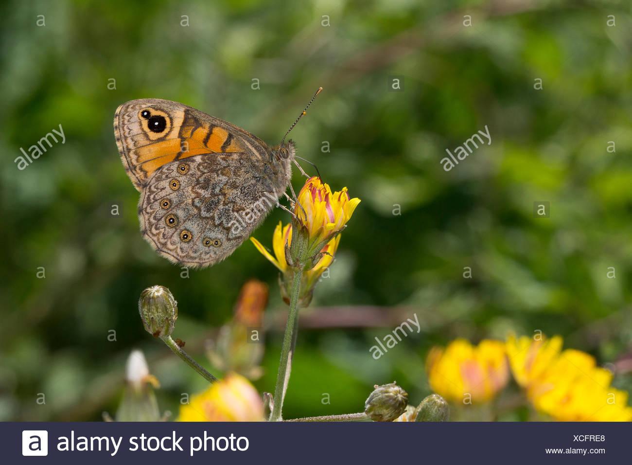 Mur, wall brown (Lasiommata megera, Pararge megera), femme sucer à un nectar, à fleurs jaunes en Allemagne Photo Stock
