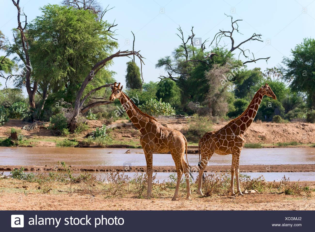 Giraffe réticulée ou Somali girafes (Giraffa camelopardalis reticulata) courir le long de la rivière, la réserve nationale de Samburu, Kenya Banque D'Images