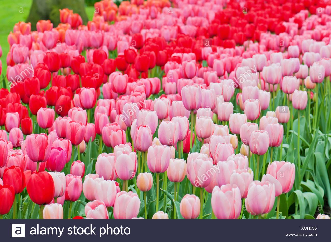 Image De Parterre De Fleurs tulipes roses et rouges sur le parterre de fleurs banque d