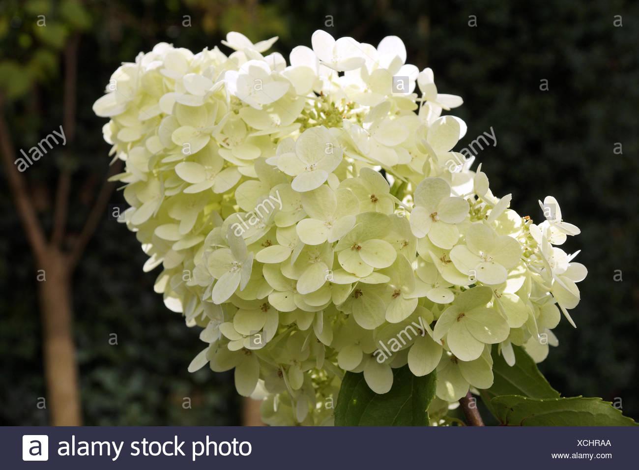 Verbena Bonariensis Vervain Perennials Limelight Hydrangea