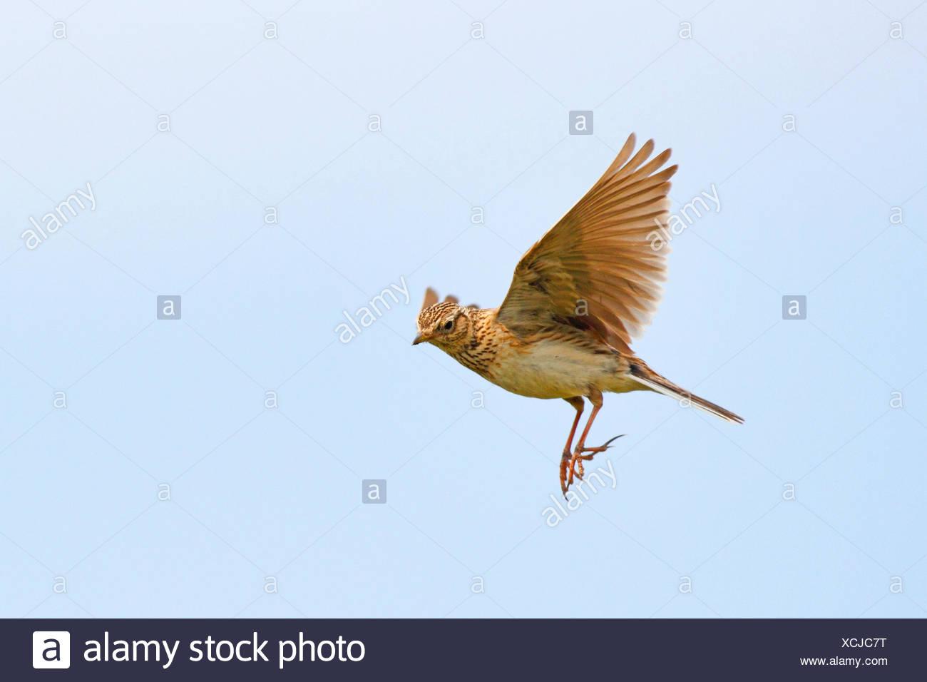 Alouette eurasienne (Alauda arvensis), dans le ciel, Allemagne Photo Stock