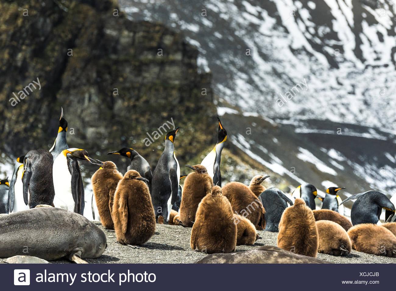 Le manchot royal (Aptenodytes patagonicus) et les juvéniles à l'Antarctique (Arctocephalus gazella) sur la plage; l'Antarctique Banque D'Images