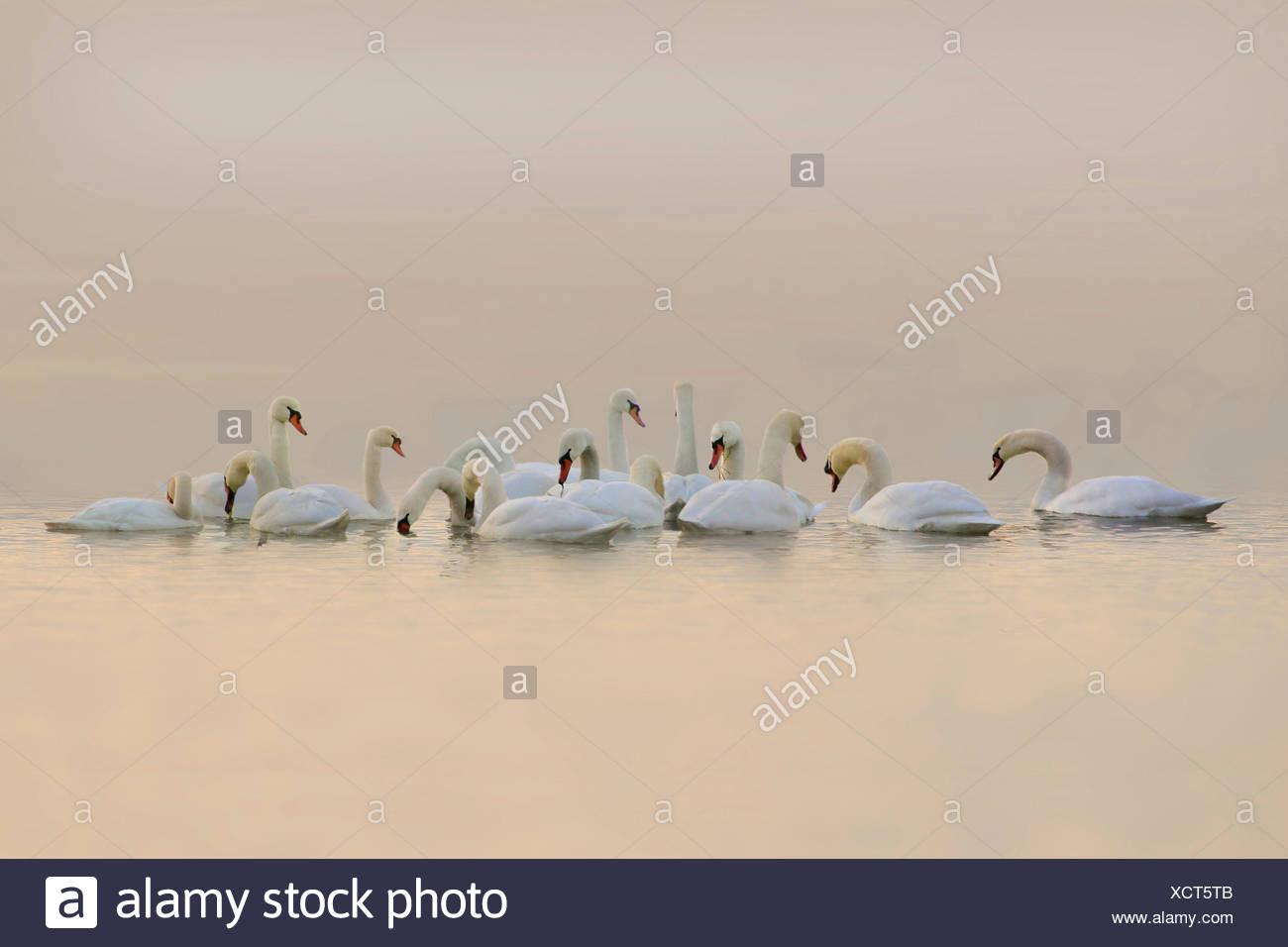 Mute swan (Cygnus olor), groupe sur un lac dans la lumière du soir, Allemagne Photo Stock