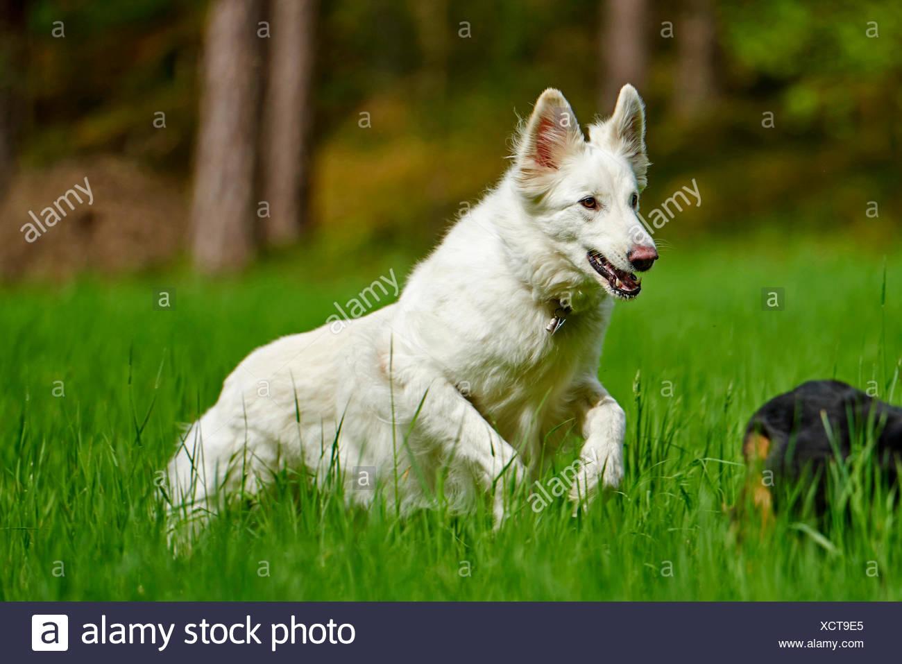 Berger Blanc Suisse (Canis lupus f. familiaris), le Berger Blanc Suisse s'exécutant dans un pré, Allemagne Photo Stock