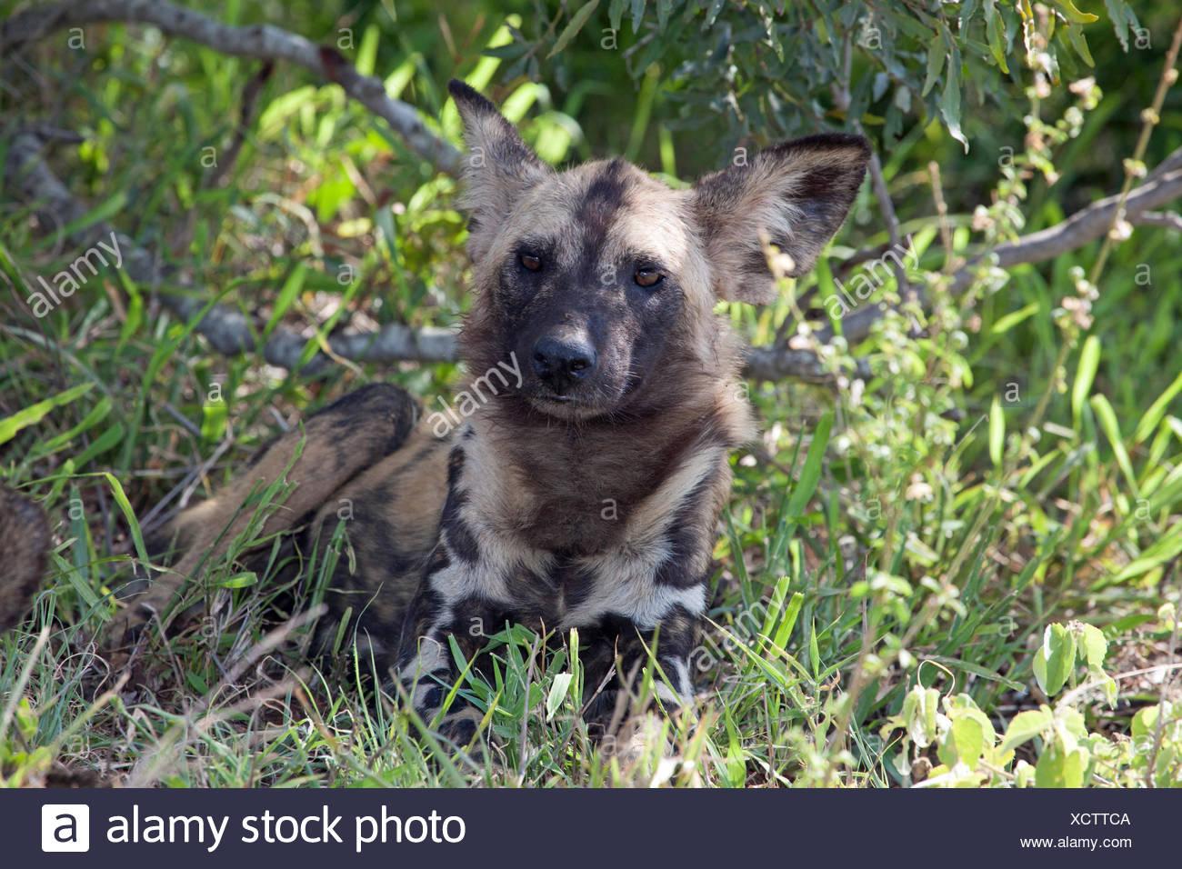 Chien Peint chien sauvage d'afrique ou de l'afrique chien peint (lycaon pictus