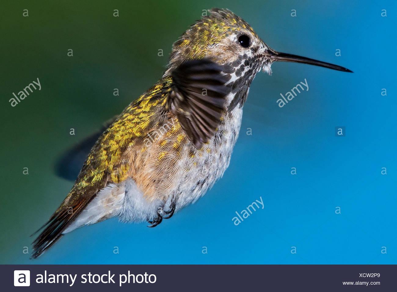 Portrait d'un colibri calliope planant dans les airs Photo Stock