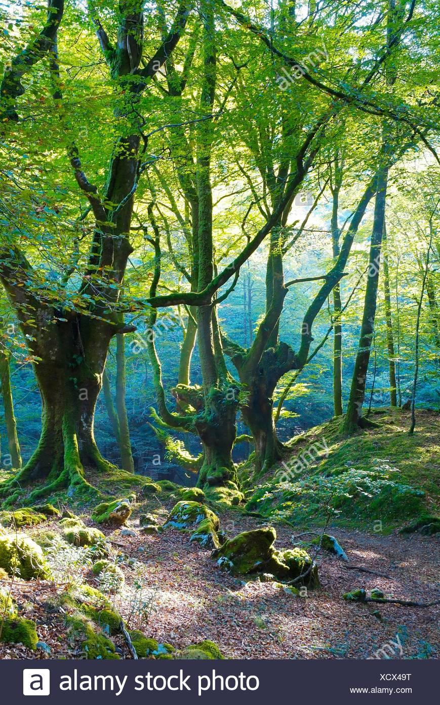 Forêt de hêtres vieux intact Photo Stock
