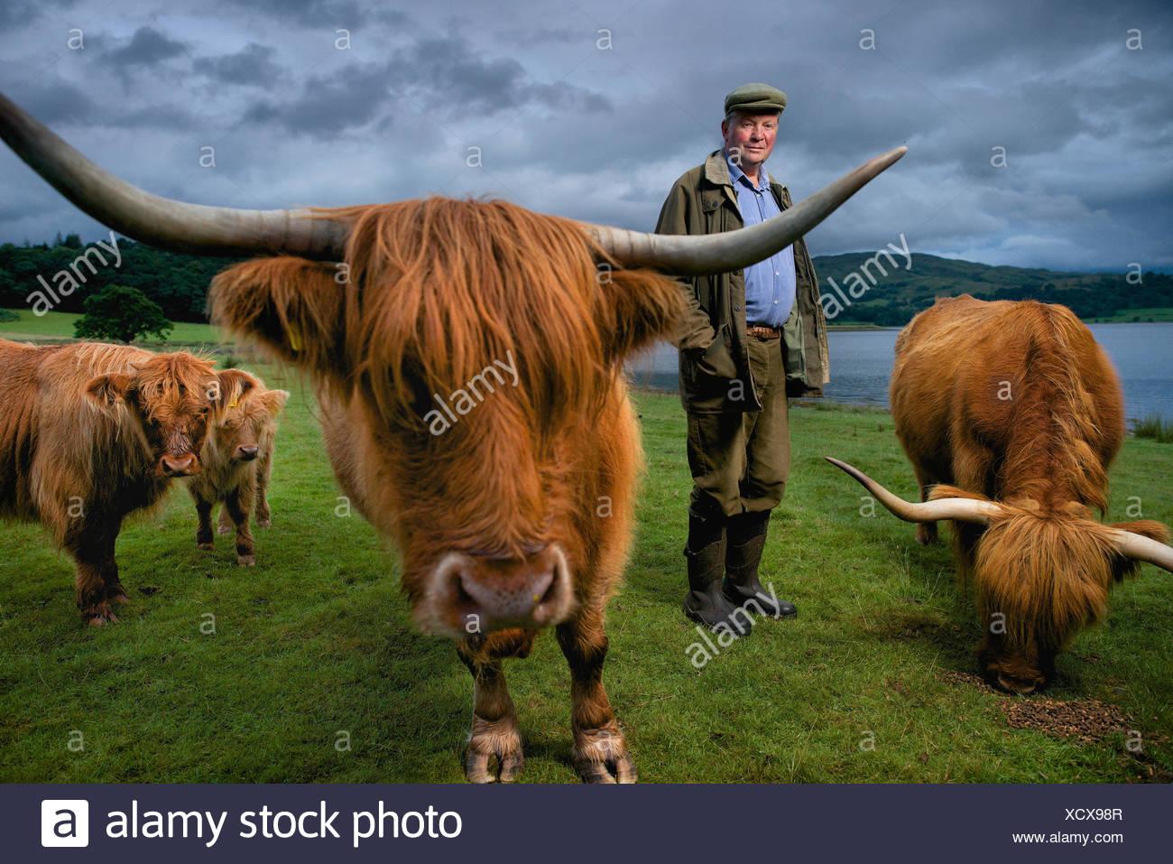 Un agriculteur avec son Highland cattle dans une ferme de l'Connel. Banque D'Images