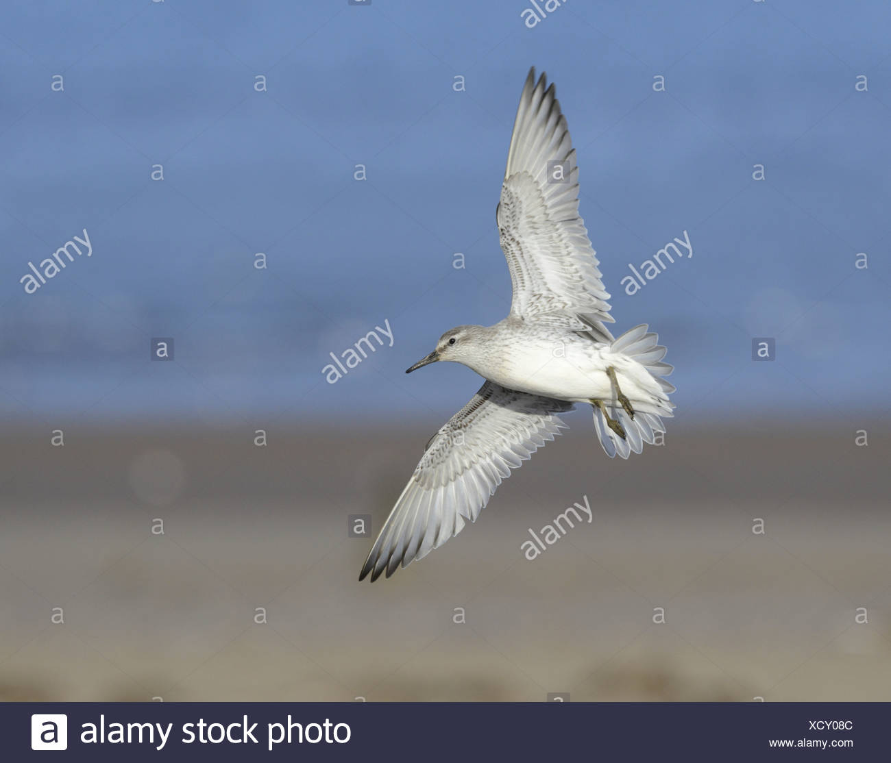 Maubèche Calidris canutus en vol Photo Stock