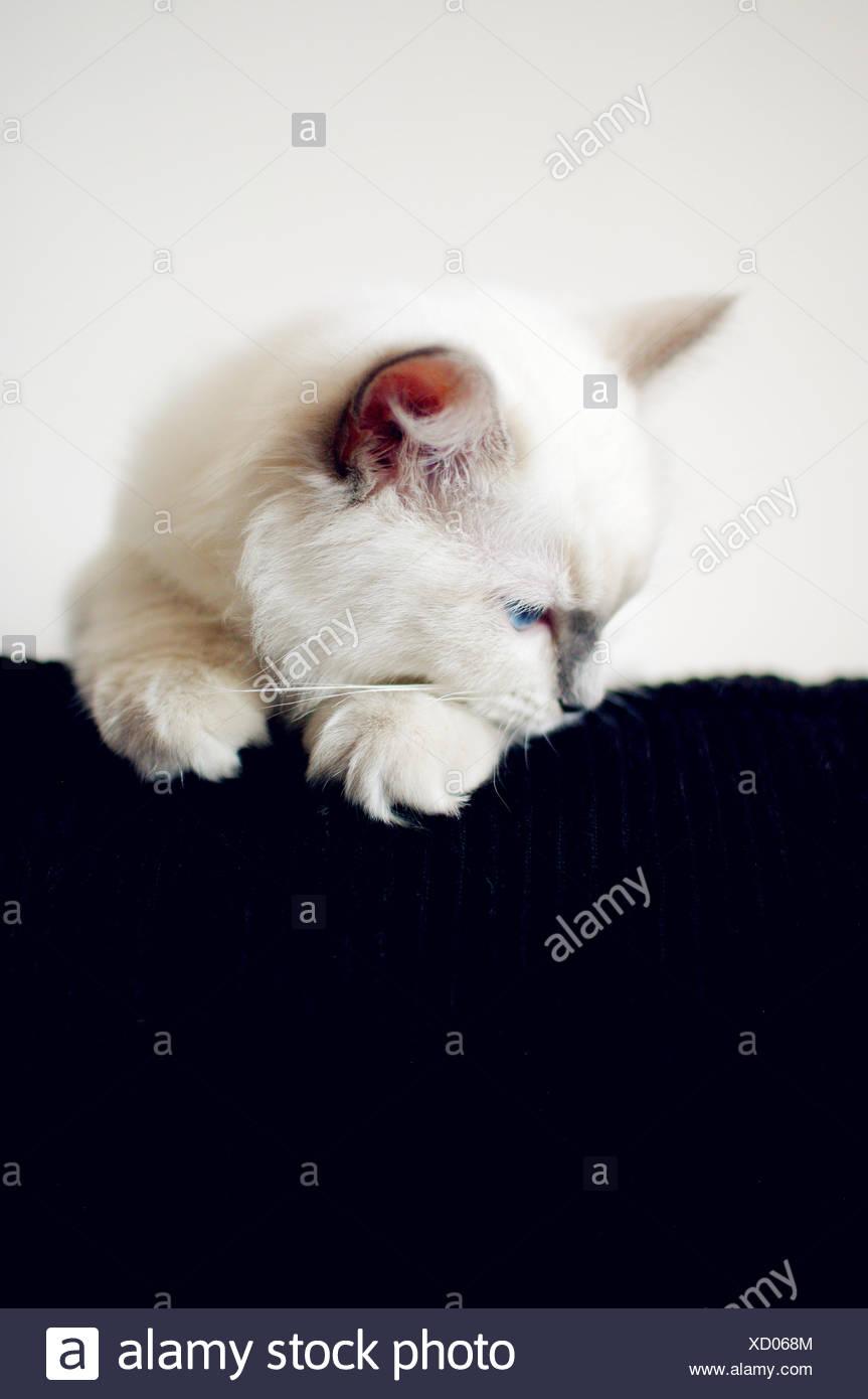Chaton blanc à la recherche vers le bas à la maison Photo Stock