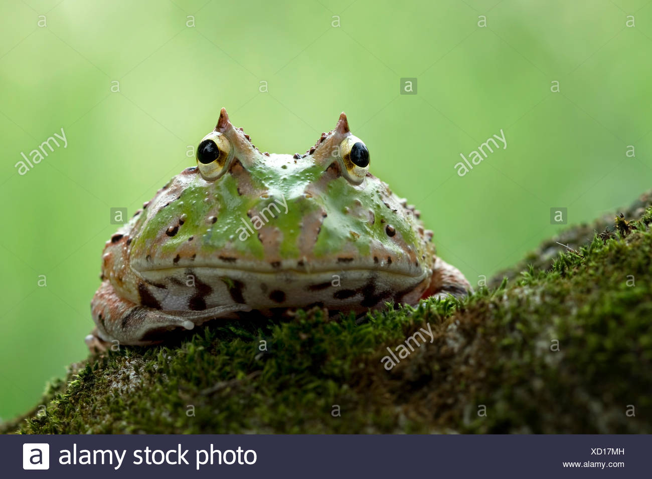 Grenouille Pacman assis sur un rocher couvert de mousse Photo Stock