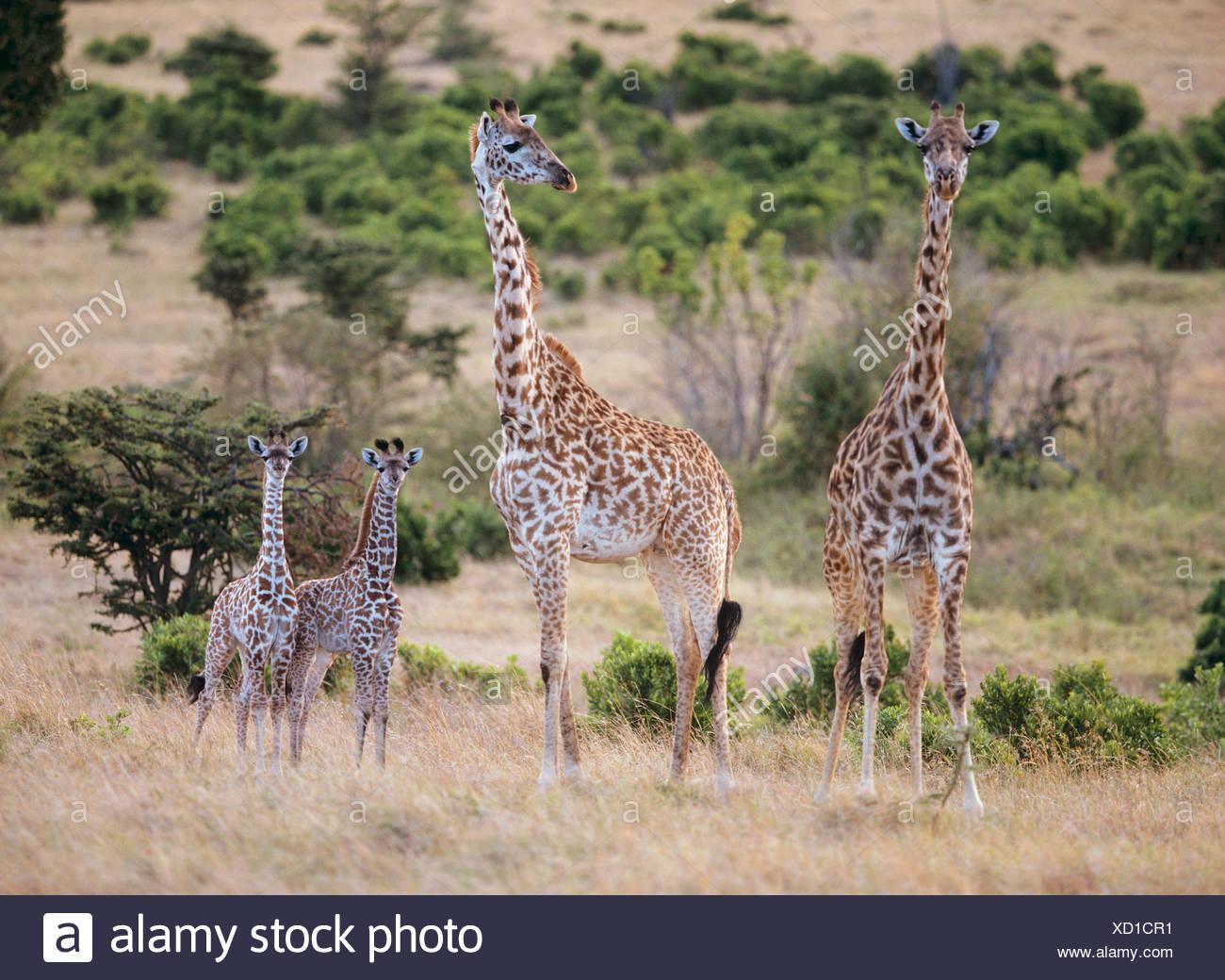 Deux girafes avec deux oursons / Giraffa camelopardalis Banque D'Images