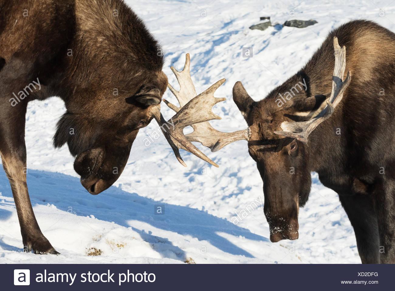 Deux orignal (Alces alces) avec bois jouer-spar les uns avec les autres au milieu de l'hiver, captifs à l'Alaska Wildlife Conservation Center Photo Stock