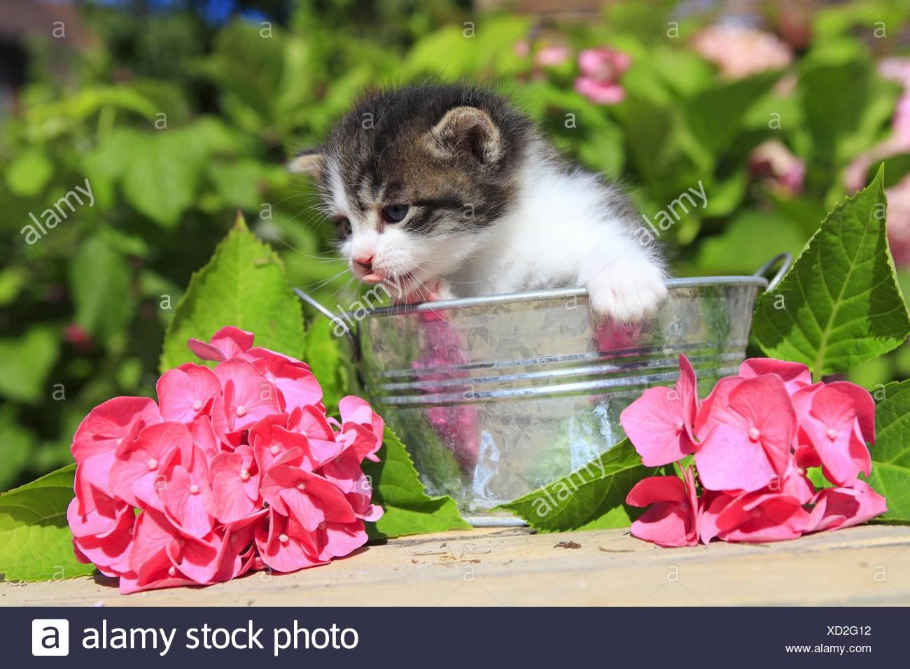 Chat domestique, le chat domestique (Felis silvestris catus). f ...