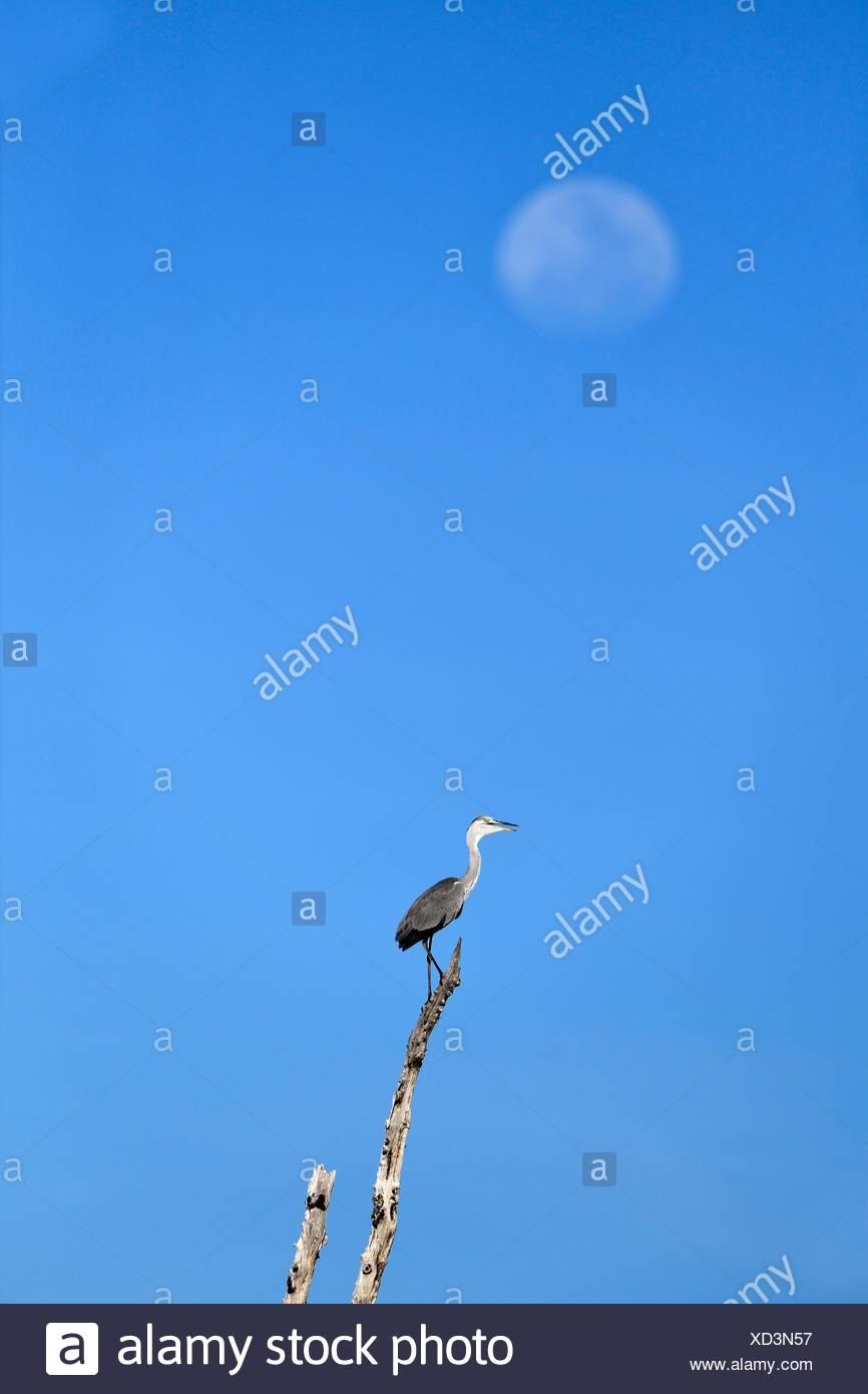 Héron cendré (Ardea cinerea) perché sur branche morte avec la lune en arrière-plan. Lac Kariba, Matusadona National Park, Zimbabwe. Photo Stock