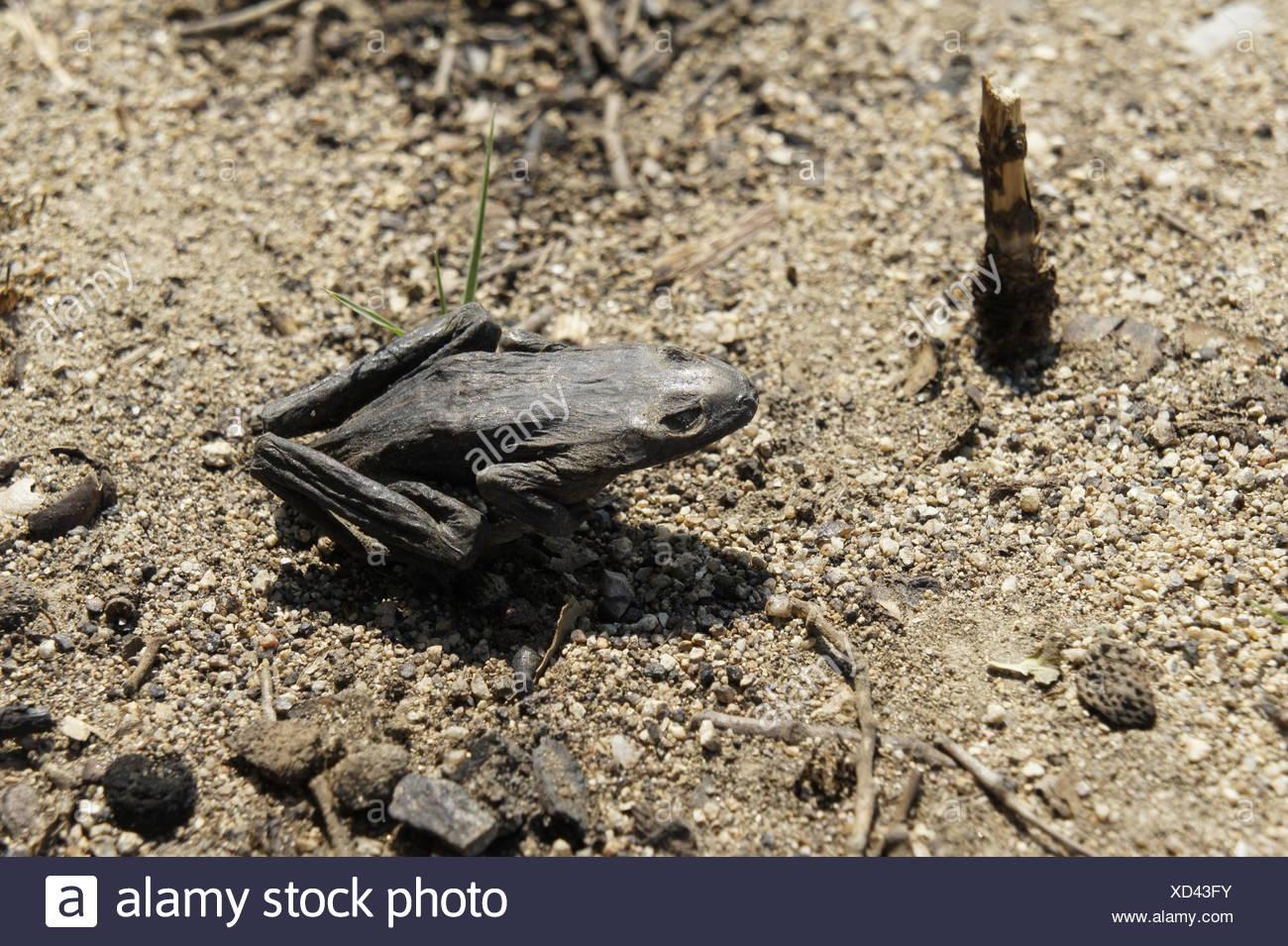 Verkohlter frosch im Wald nahe la Jonquera, spanisch-franzoesisches waldbraenden grenzgebiet, nach sommer 2012, verkohlte baeume Banque D'Images