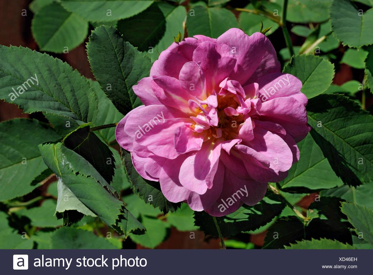 Rose Musquee De Fleur Banque D Images Photo Stock 283449337 Alamy