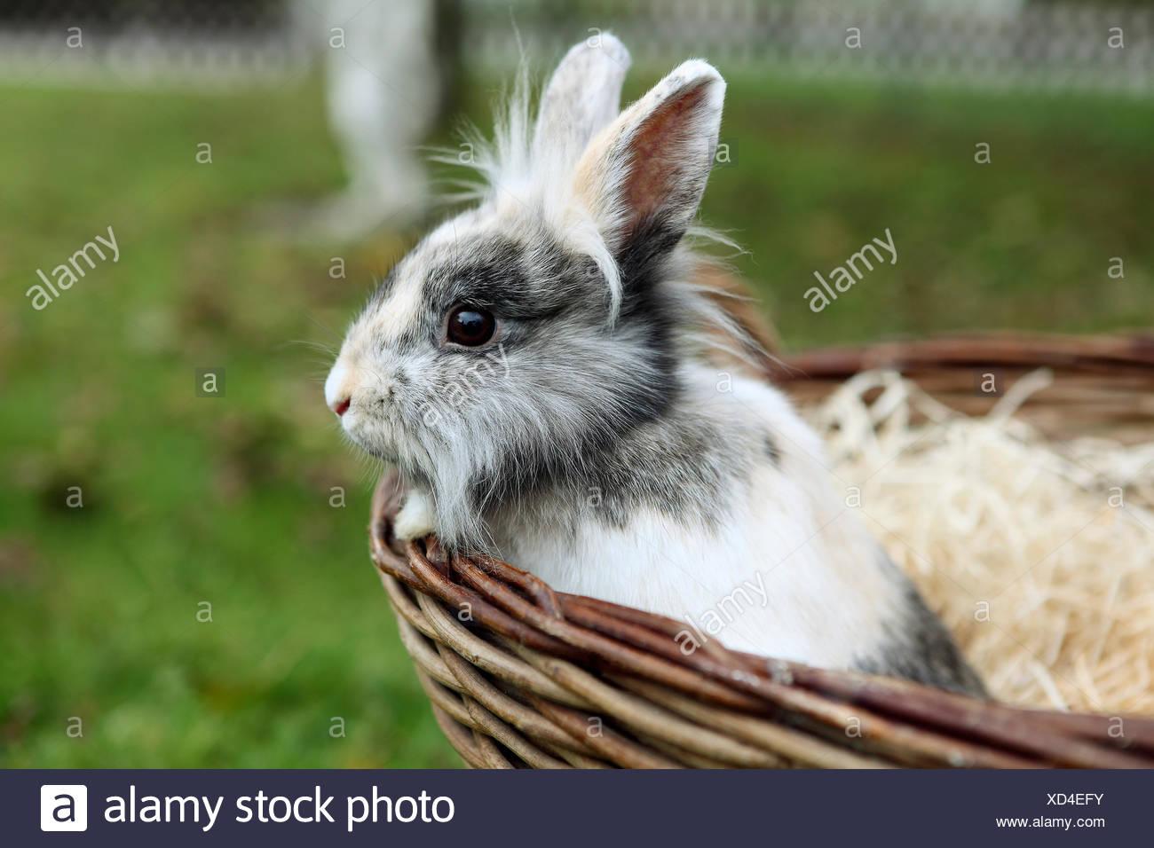 Jeune Lion head bunny dans un panier Banque D'Images