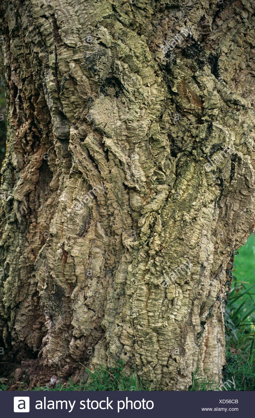 Chêne-liège (Quercus suber) et de l'écorce du tronc de l'arbre Banque D'Images