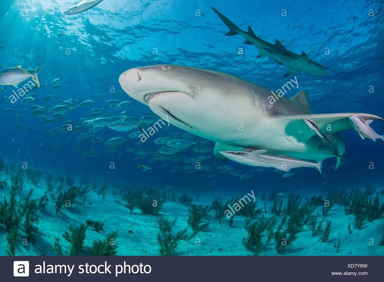 Low angle sous-vue de le requin nager près des fonds marins, plage du Tigre, Bahamas Photo Stock