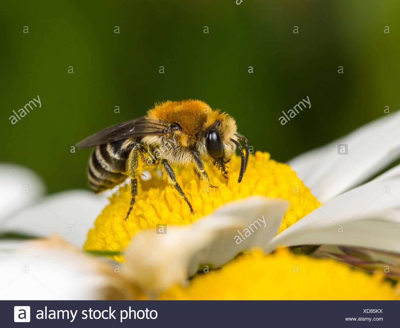 Plâtrier bee (colletes similis) sur oxeye daisy (Leucanthemum vulgare), Femme Banque D'Images