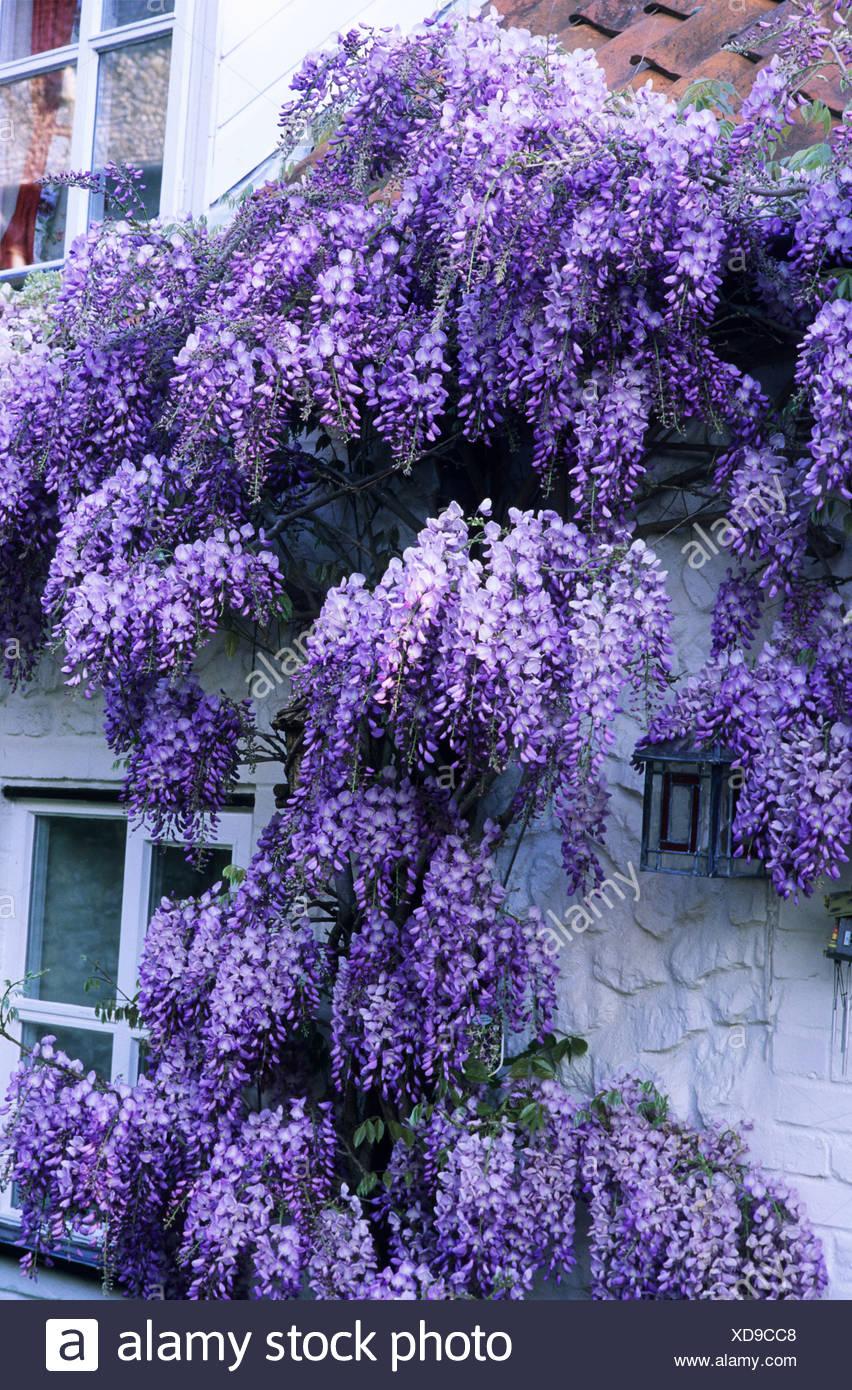 Cottage blanc violet avec glycine plante grimpante fleur porte fen tre plante jardin - Adresse mail reclamation blanche porte ...