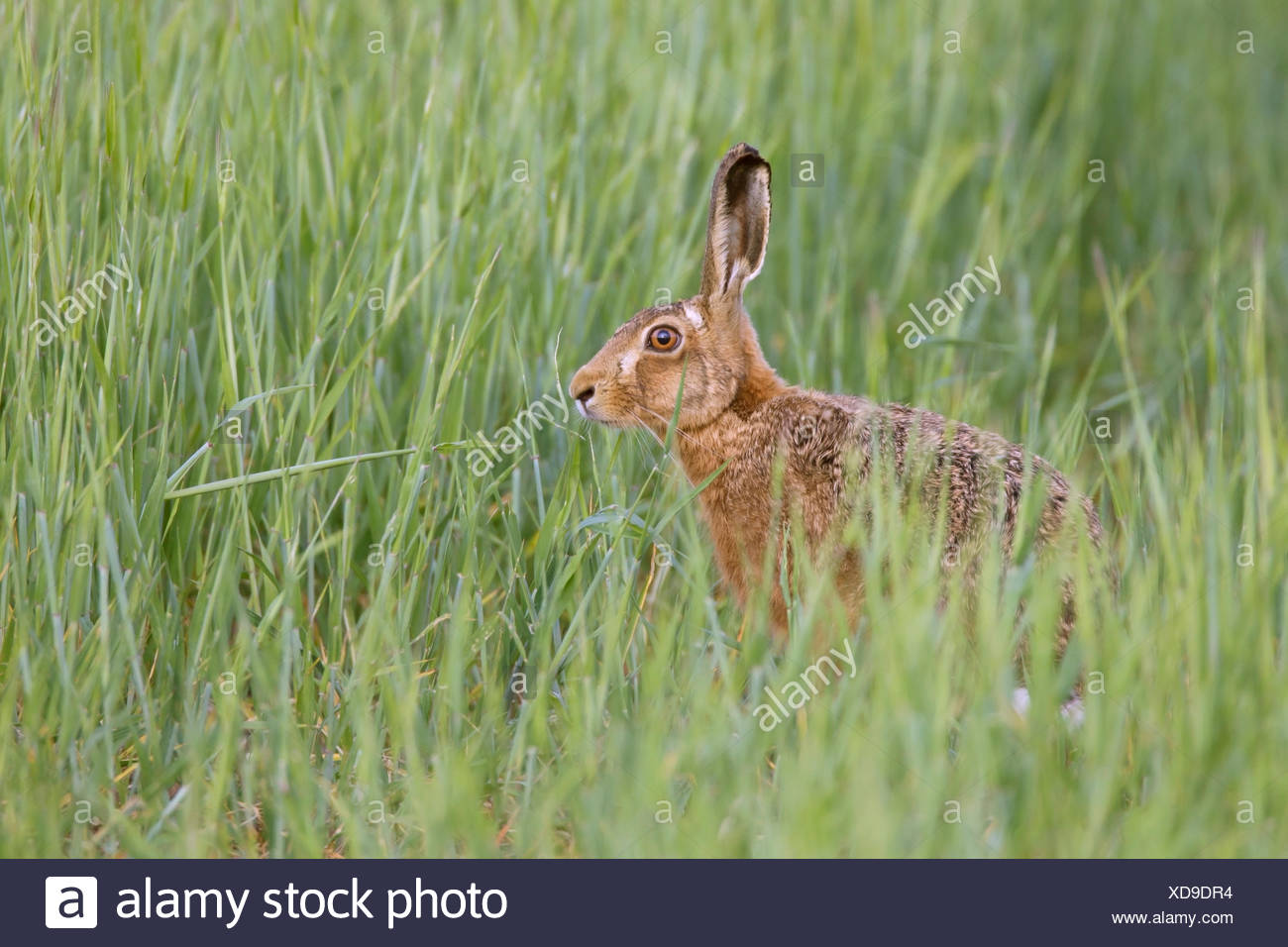 Lièvre brun (Lepus europaeus), alerte dans le champ de céréales, Suffolk, Angleterre, Royaume-Uni Photo Stock