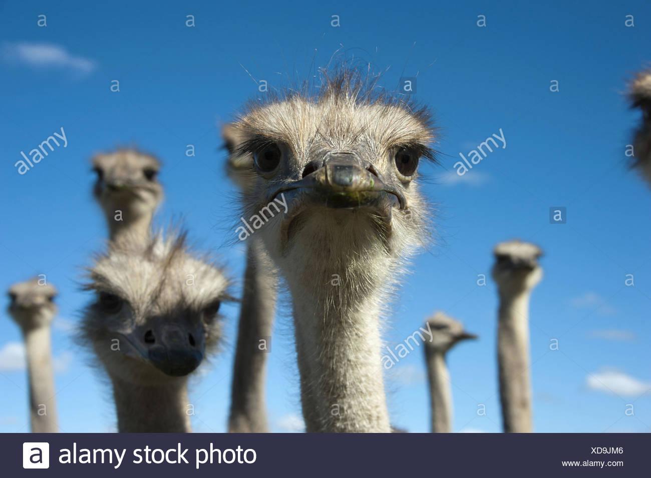 Autruche (Struthio camelus), portrait, Afrique du Sud, Western Cape, Oudtshoorn Photo Stock