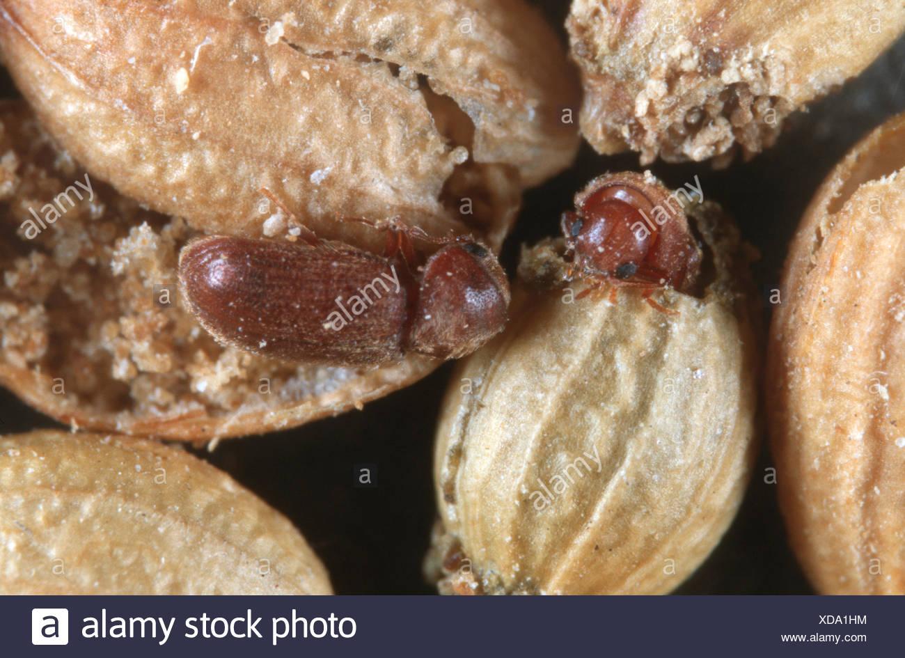Drugstore beetle, drug store, charançon du pin, biscuit pain ponderosa Stegobium paniceum (coléoptères), à la graine de coriandre Photo Stock