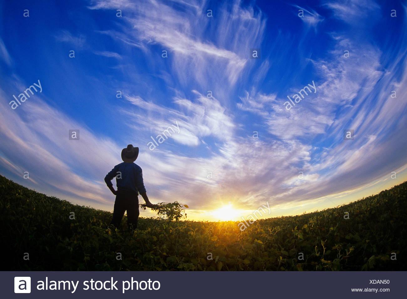 Un agriculteur donne sur sa récolte de soja venant à échéance au coucher du soleil près de Lorette, Manitoba, Canada Photo Stock