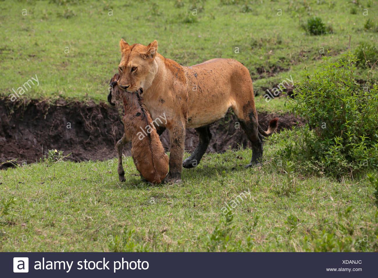 Lion (Panthera leo), lionne portant un veau gnou pris dans la bouche, la Tanzanie, le Parc National du Serengeti Photo Stock