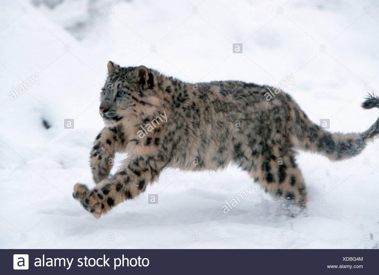 Snow Leopard Irbis Schneeleopard Banque D Images Photo Stock