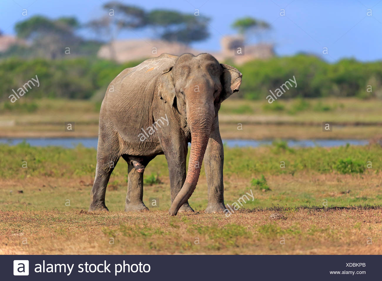 L'éléphant du Sri Lanka (Elephas maximus maximus), mâle adulte, l'alimentation, le parc national de Yala, au Sri Lanka Photo Stock