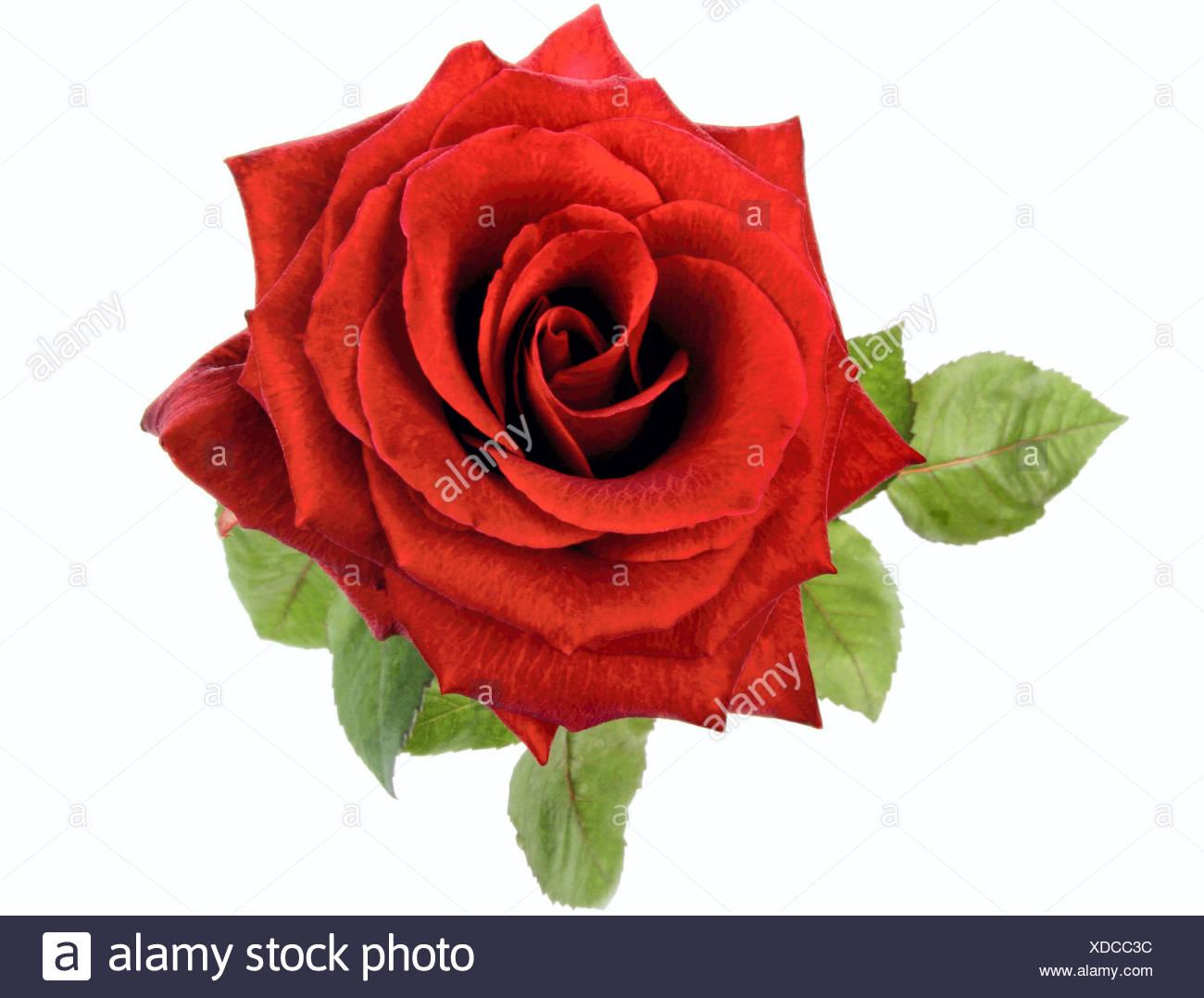 Red Rose Rosa Spec Rose Rouge Fleur Unique Avec Des Feuilles