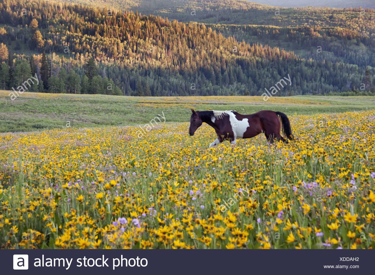 Cheval dans un champ de fleurs des montagnes Uinta dans l'Utah Photo Stock