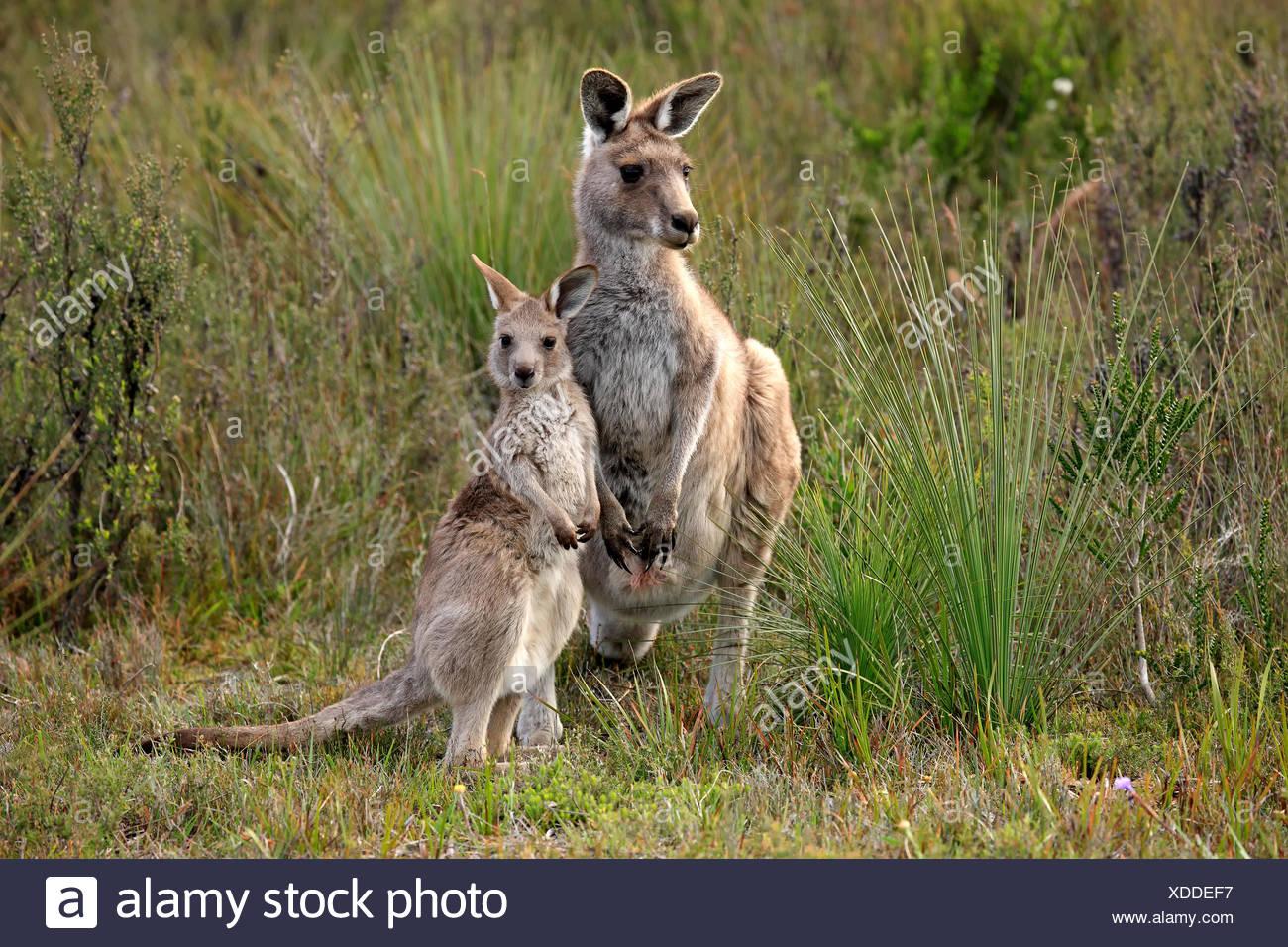 Kangourou gris de l'Est, avec de jeunes femmes, Wilson Promontory Nationalpark, Victoria, Australie / (Macropus giganteus) Photo Stock