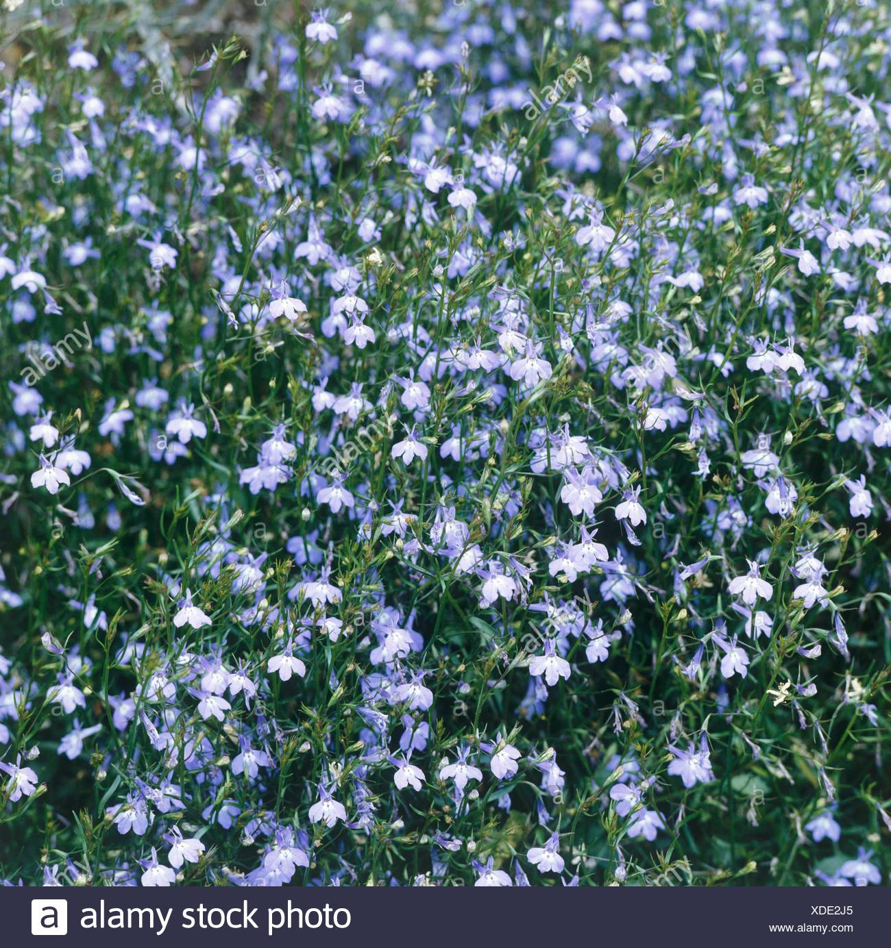 Lobelia Richardii Photos & Lobelia Richardii Images - Alamy