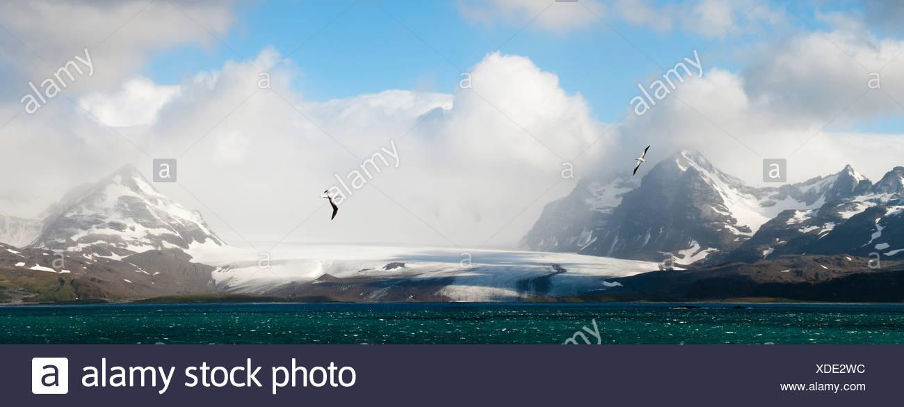 Albatros hurleur survolant la Bay of Isles avec plaine de Salisbury glacier dans l'arrière-plan. La Géorgie du Sud, l'Atlantique Sud. Photo Stock